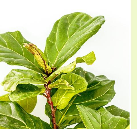 Instagram Snapshot: Fiddle Leaf Fig   Dream Green DIY