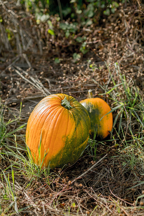 http://cdn.dreamgreendiy.com/wp-content/uploads/2017/11/28-45043-post/Pumpkin-Patch-32(pp_w480_h720).jpg