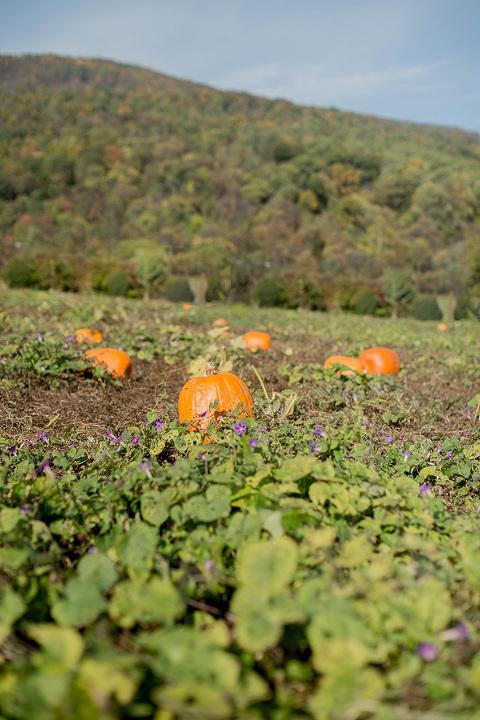 Thanksgiving Pumpkin Patch Picking